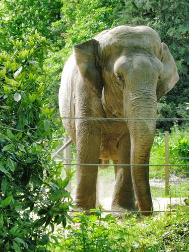 L'éléphant d'Asie elephas maximus